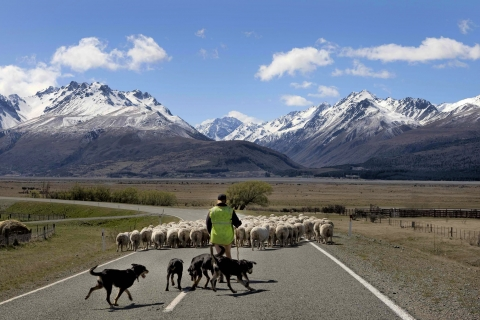 Sheep Herder, South island New Zealand