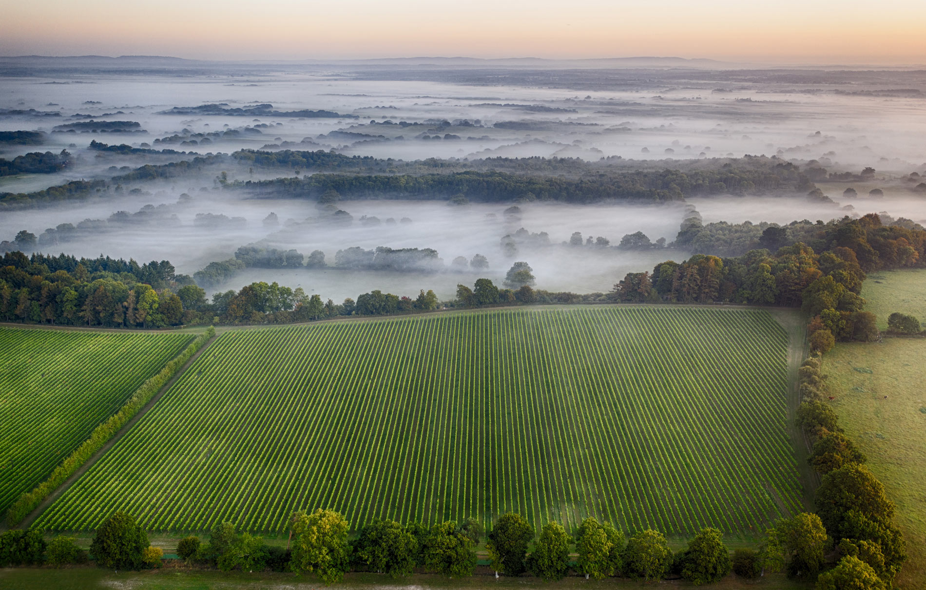 Nyetimber Vineyard at dawn
