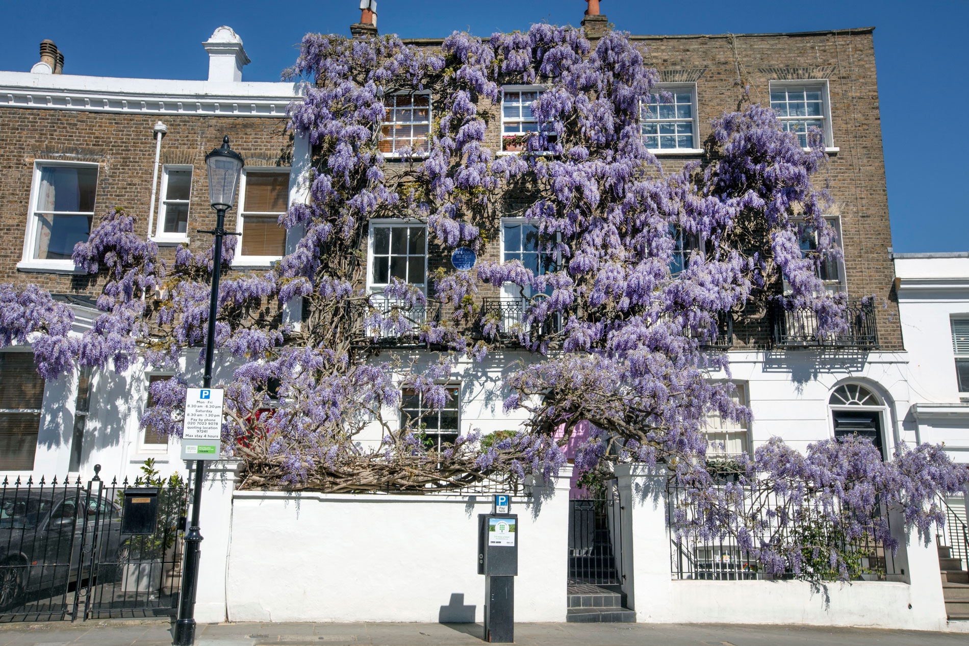 Notting Hill Wisteria